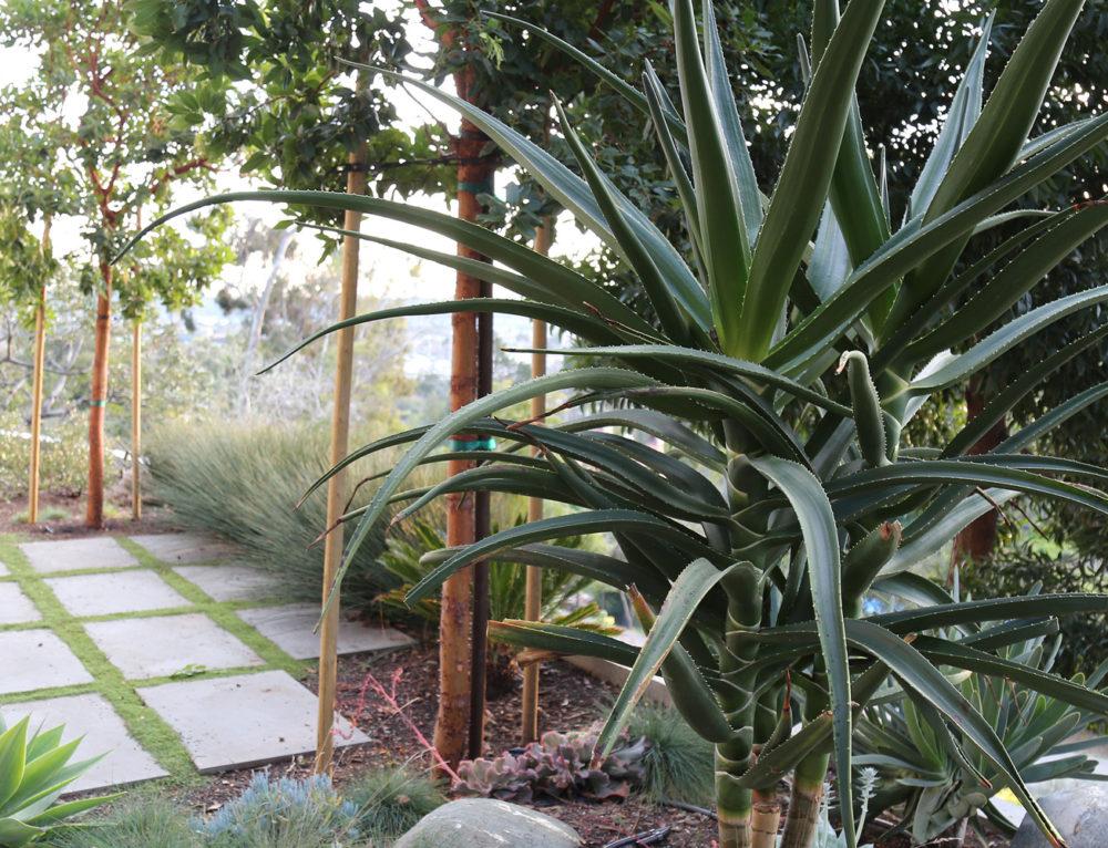 Drought Resistant Hillside Garden in San Rafael